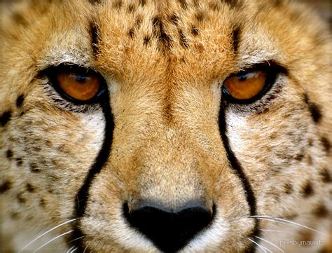 Wild Animal Wall Stickers quot cheetah portrait close up quot by pixsbymauritz redbubble