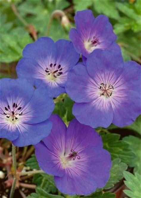 Fleurs Bleues Vivaces by Fleurs Bleues Vivaces Rantes