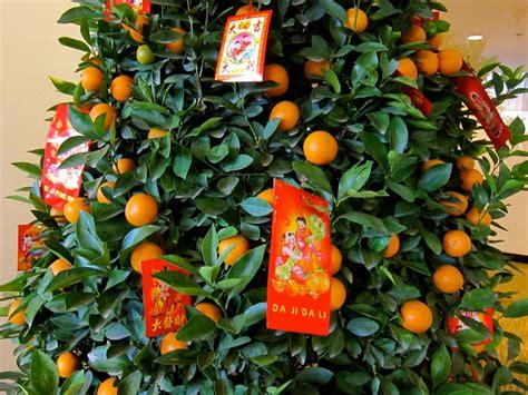 kumquat trees new year new year with friends