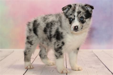 husky cross pomeranian for sale pomsky for sale could this cross be just what your family needs