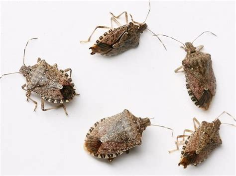 Name A Bug To Find In Their House Stink Bug Tips