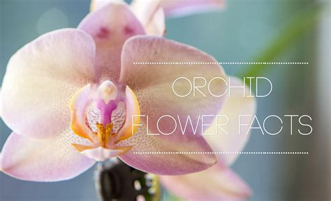orchid facts interesting orchid flower facts flower pressflower press