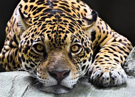 jaguar pattern house cat bedroom wall murals homewallmurals co uk