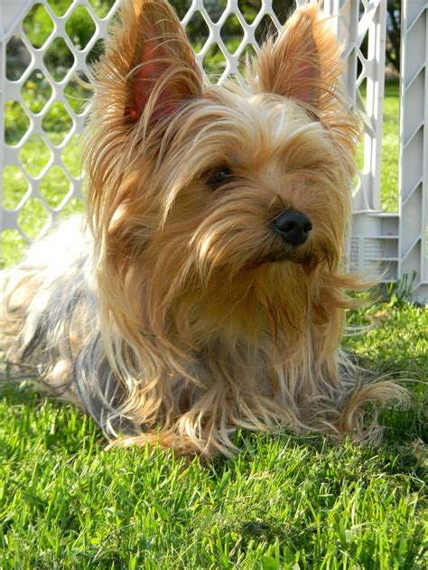 what color will my yorkie be 1000 images about yorkies on cas colors and