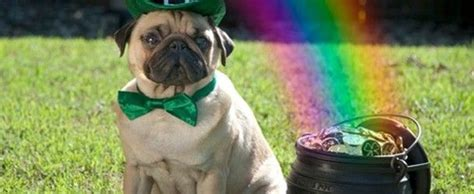 do pugs sweat excellent images for baby pugs in costumes pug the o jays