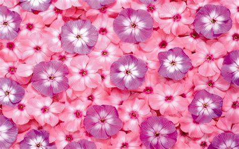Vs Pink Flower pink and purple flowers wallpaper 7715