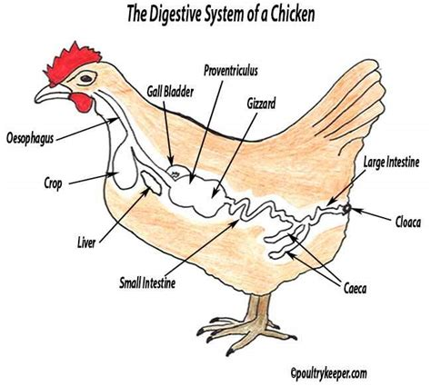 chicken diagram the digestive system of a chicken