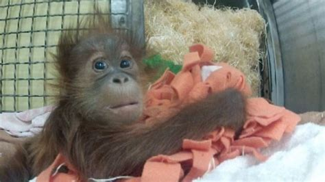 Gorden Awan lost his this 12 week orangutan baby