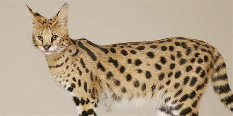 Savannah cat   Information, Characteristics, Facts, Names