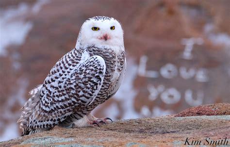 amazoncom snowy owl we you snowy owl goodmorninggloucester