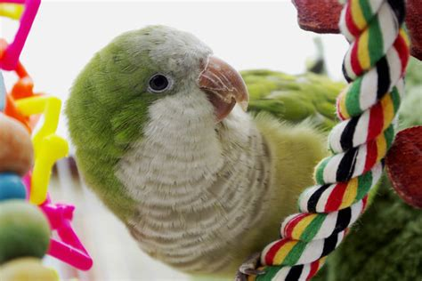 quaker parrots great pet birds petcha