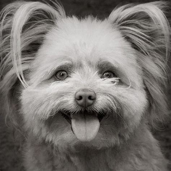 pomeranian x poodle pomeranian poodle foto inspiratie honden