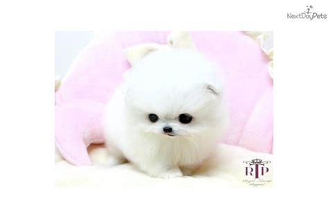 micro teacup pomeranian price houston dogs for sale puppies cats kittens pets for sale backpage