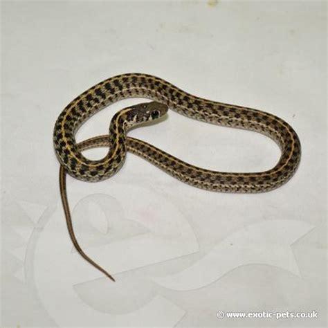 Garter Snake As Pet Chequered Garter Snake Thamnophis Marcianus