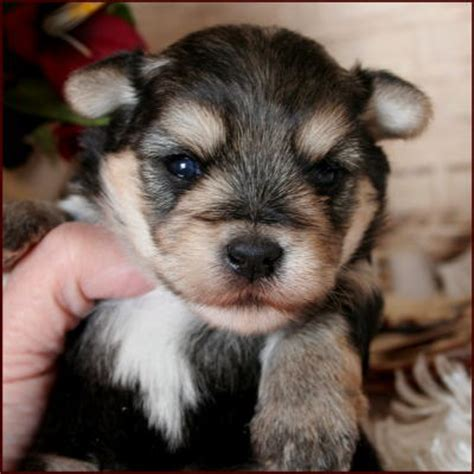 morkie puppies for sale in iowa morkie yorktese yorkie maltese puppies for sale iowa