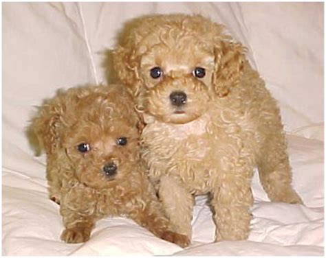 What Is The Expectancy Of A Teacup Poodle Poodle