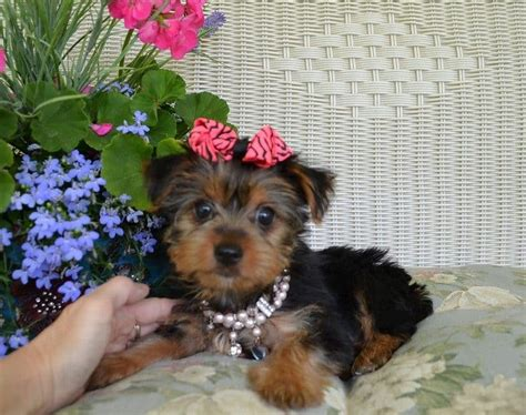 teacup puppy breeds image gallery teacup breeds