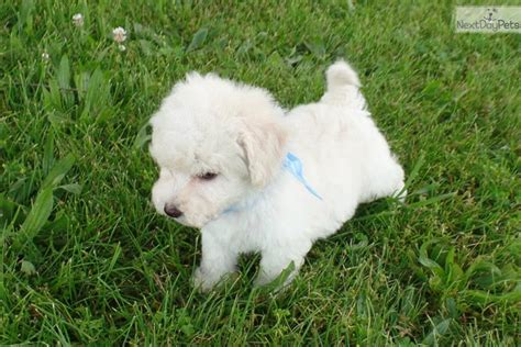 bichpoo puppies home breeds puppies for sale poo bichpoo puppies breeds picture