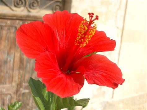 which state has a hibiscus file hibiscus rosa sinensis bloom jpg wikimedia commons