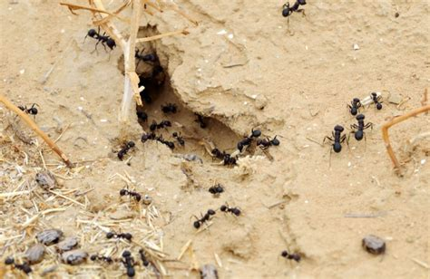 tiny ants in house how to get rid of ants in the house the housing forum