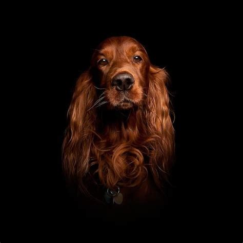 setter dog fable 3 743 best images about red setter dogs on pinterest