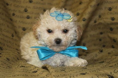 maltipoo puppies for sale ny maltipoo puppies nj breeds picture