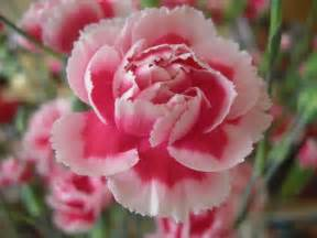 carnation carnation wallpapers hd download