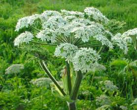 What Is The Alaska State Flower - heracleum maximum american cow parsnip go botany