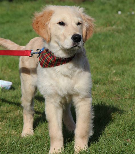 mini doodle hunderasse golden retriever doodle hund doodle hunderassen
