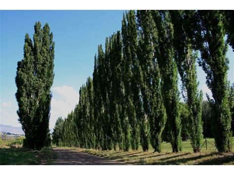 frangivento da giardino alberi frangivento quali sono caratteristiche e schema