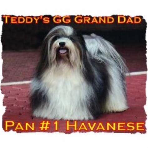 havanese breeders tennessee morningstar valley farm havanese breeder in corryton tennessee