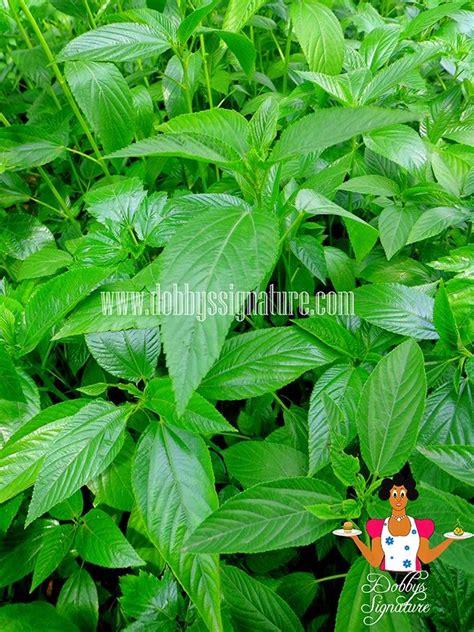nigerian indigenous herbs 15 best nigerian leafy vegetables images on pinterest