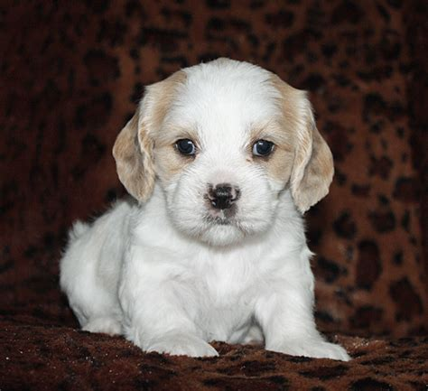cockapoo puppies for sale in iowa puppies for sale cockapoo cockapoos f category in houghton iowa