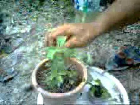 Biji Bunga Kamboja Jepang cara menanam biji bunga kamboja jepang info tanaman lengkap