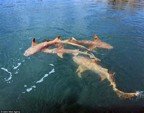 sea hunt boats australia picture shows saltwater crocodiles and lemon sharks