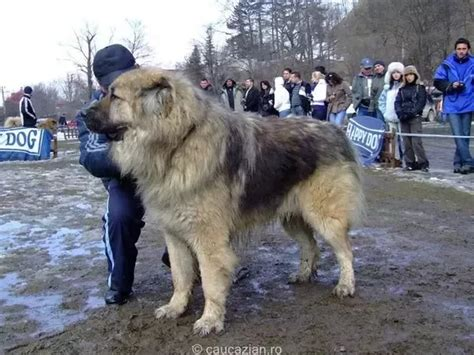how much is a tibetan mastiff puppy do tibetan mastiff and russian caucasian mountain refer to the same breed of