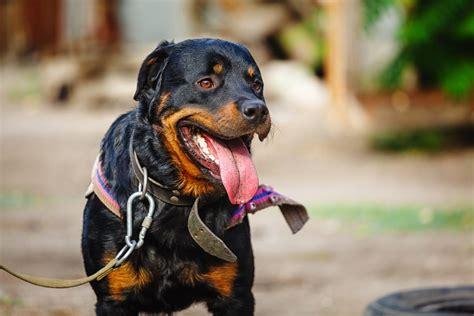 rottweiler temperament obedient rottweiler temperament personality traits canna pet 174