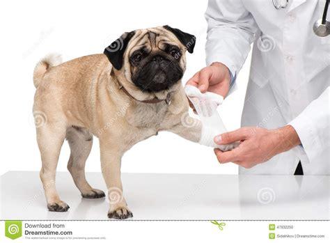 pug paws veterinarian bandaging pug paw stock photo image 47932250