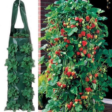 climbing strawberry plants home and garden climbing strawberry plant