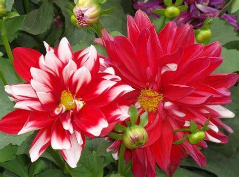 fiori dalie i fiori da giardino piante per giardino fiori esterno