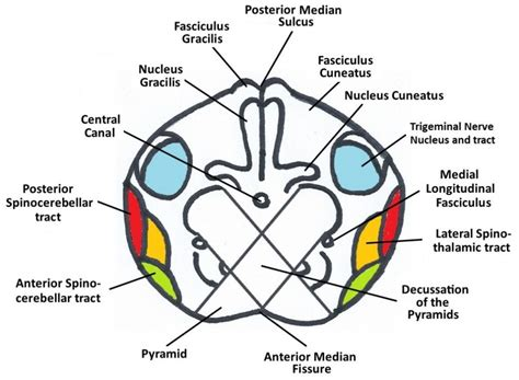 Transverse Section Of Medulla Oblongata by Medulla Oblongata Structure Anatomy For