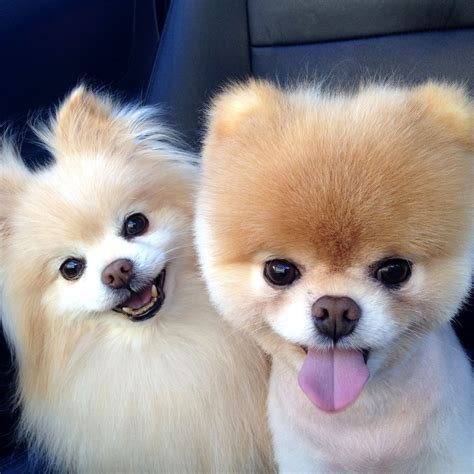 photo of pomeranian pomeranian pictures popsugar pets