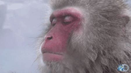 Snow Monkey GIF - Find & Share on GIPHY