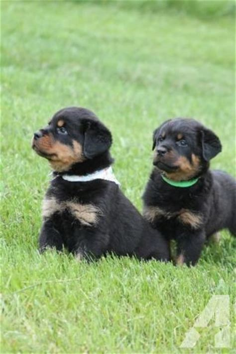 american rottweiler puppies for sale in nc akc registered rottweiler puppies for sale in mount airy carolina classified