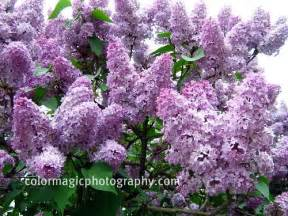 Wisteria Meaning lilac trees and shrubs in flower syringa vulgaris
