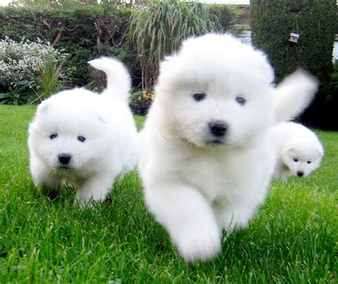 samoyed puppies for sale colorado samoyed puppies for sale pets for sale in the uk