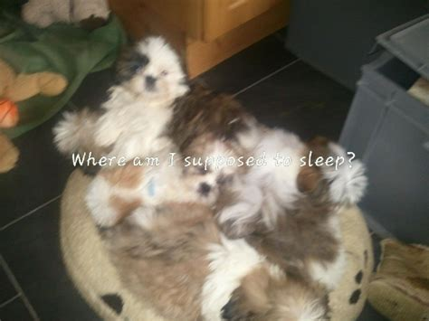 shih tzu 4 sale shih tzu puppies for sale birmingham west midlands pets4homes