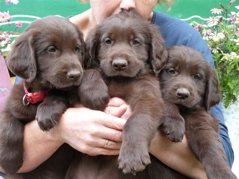 flat coated retriever puppy liver flatcoated retriever puppies worcester worcestershire pets4homes