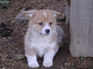 puppies for sale in pa corgi puppies for sale in pa