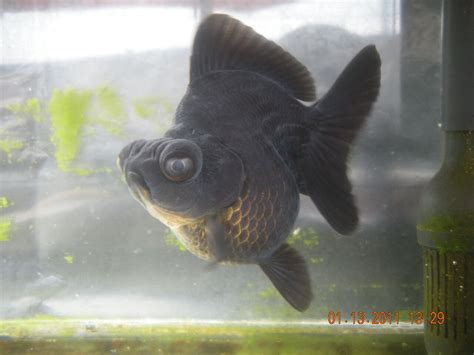 Ikan Koki Demekin mantap reza stefanus dulang puluhan juta rupiah dari